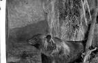 medved_vitrina_stojavshaja_v_muzee_1906-10_gg
